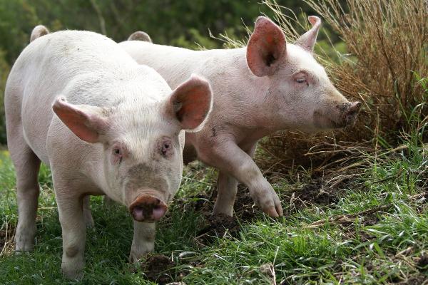 porc-boucherie